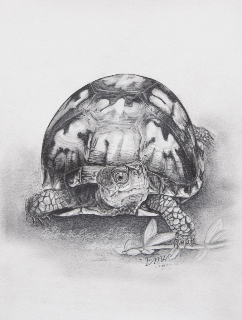 """""""Slow Going"""" an Eastern box turtle drawing. 6x8"""" Completed November 2018"""