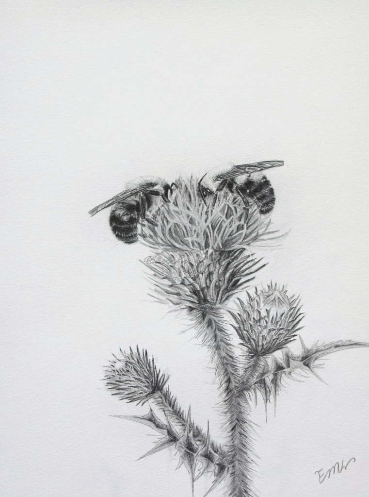 """""""A Table for Two"""" a drawing of two bumble bees on a thistle together. 6x8"""" Completed August 2019"""