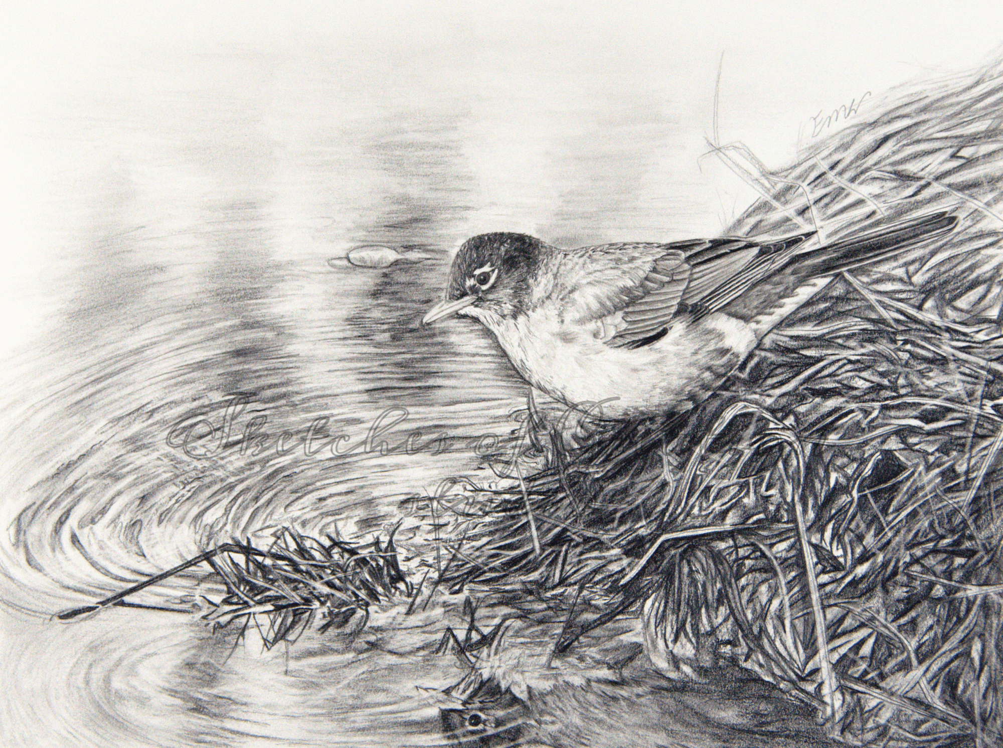 'Catches the Worm' a drawing of a robin near reflective, rippled water. 9x12 inches. Completed December 2019