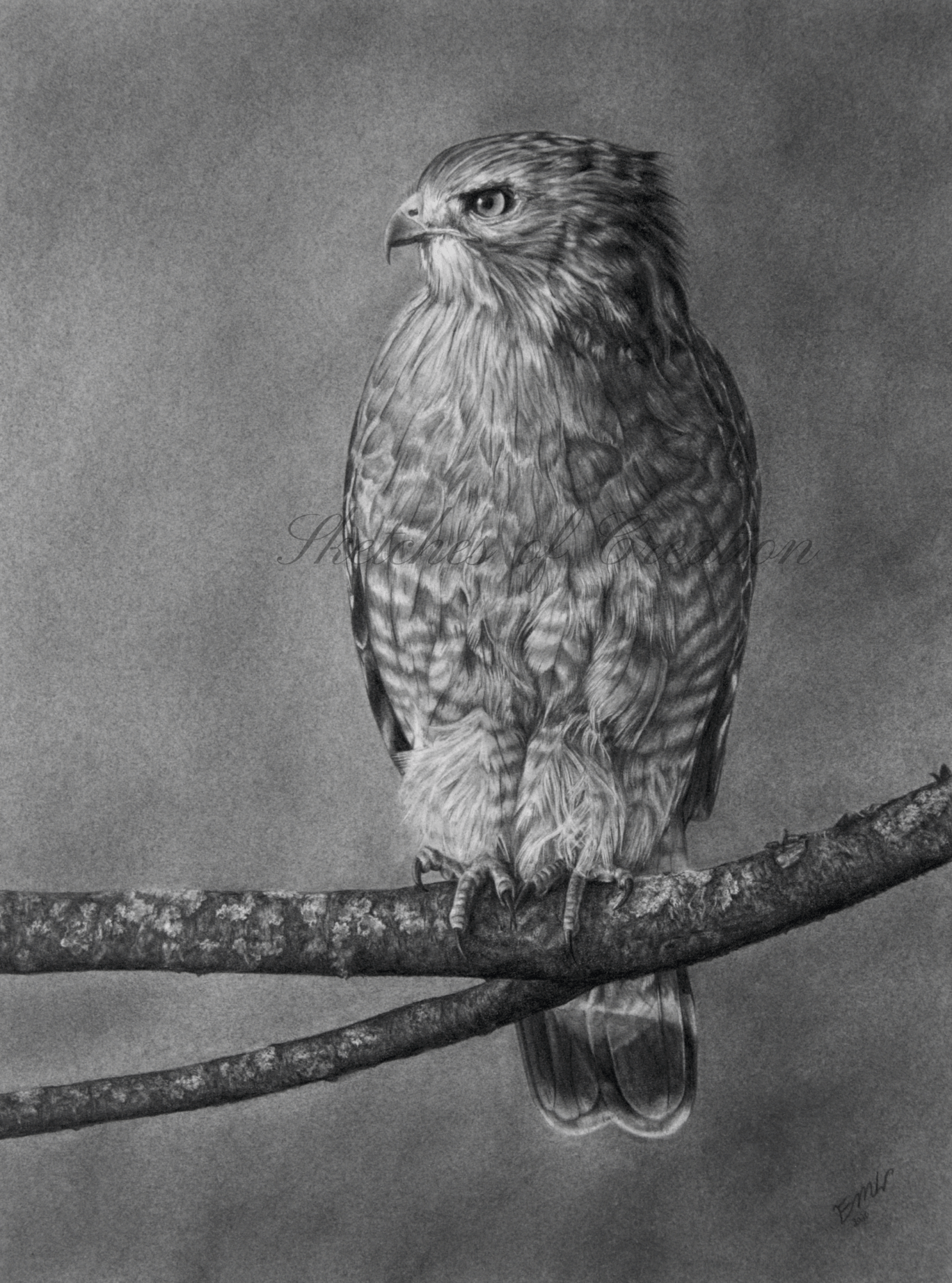 'Determination' a drawing of a Red-shouldered Hawk on a branch. 9x12 inches. Completed September 2020