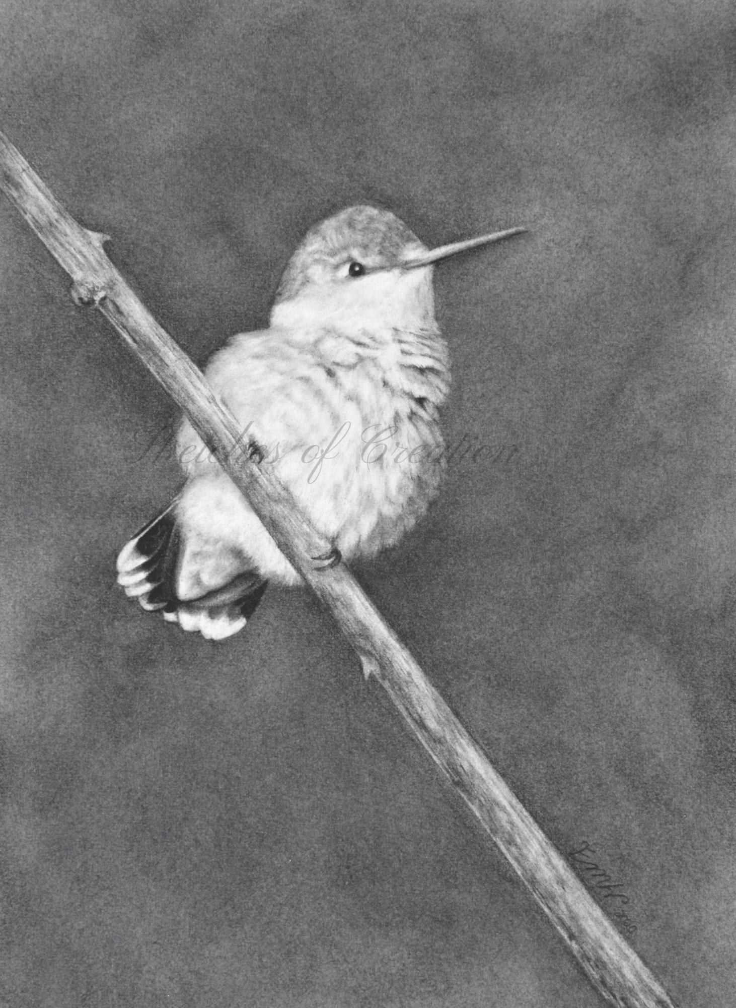 'Contentment' a drawing of a fluffy female Ruby-throated Hummingbird. 5x7 inches. Completed September 2020