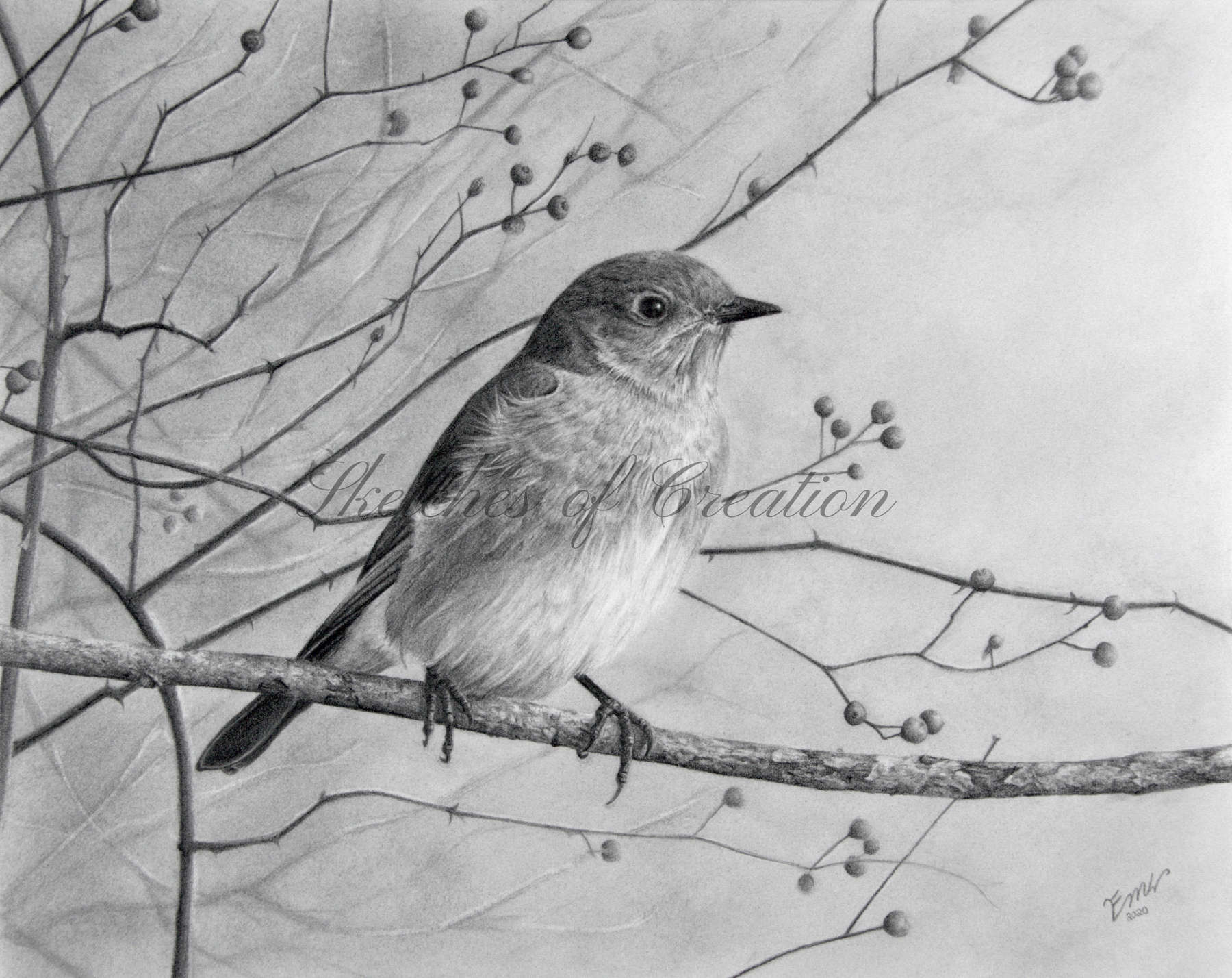'Bluebird' a drawing of an Eastern Bluebird. 8x10 inches. Completed December 2020