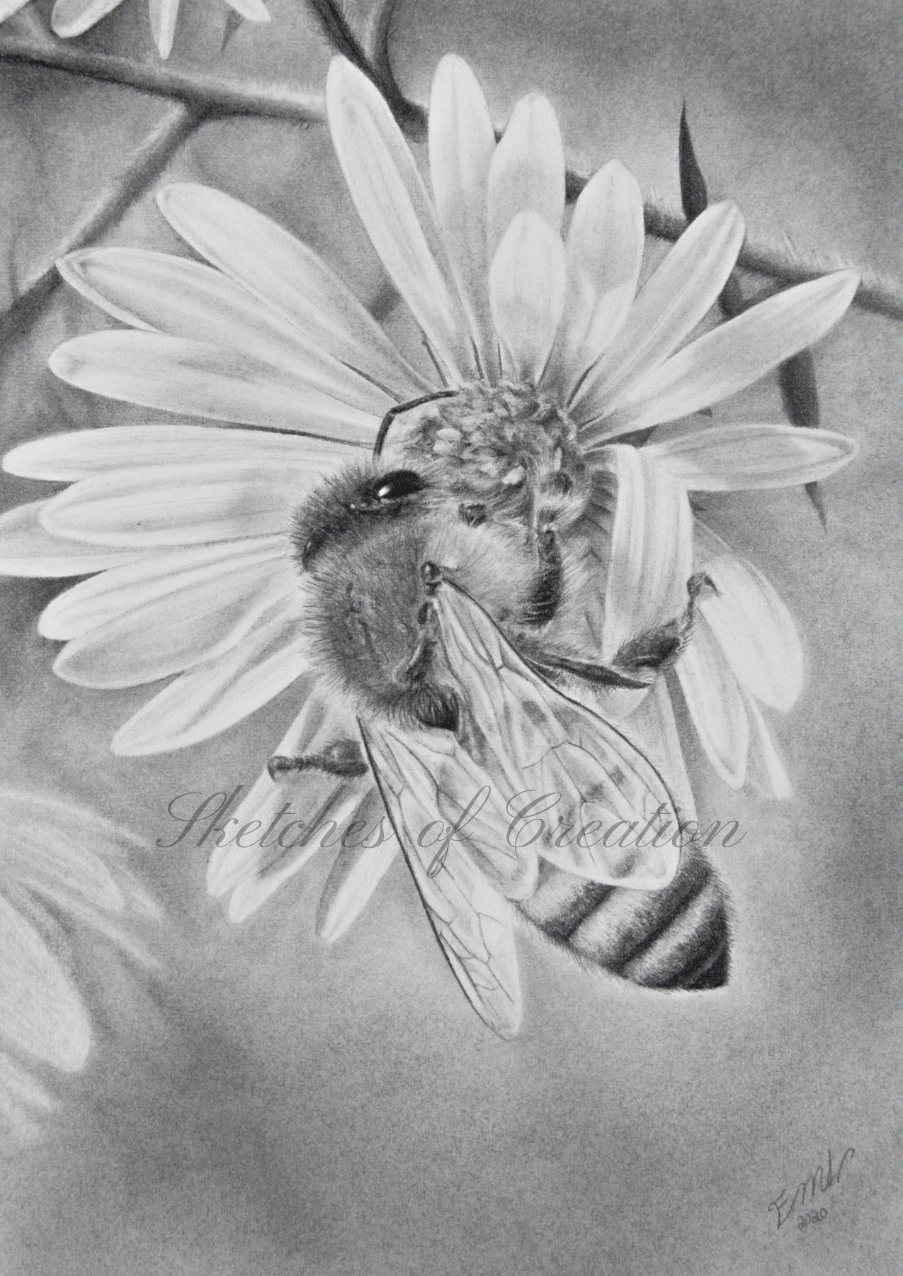 'Honeybee' a drawing of a honey bee on a flower. 5x7 inches. Completed October 2020
