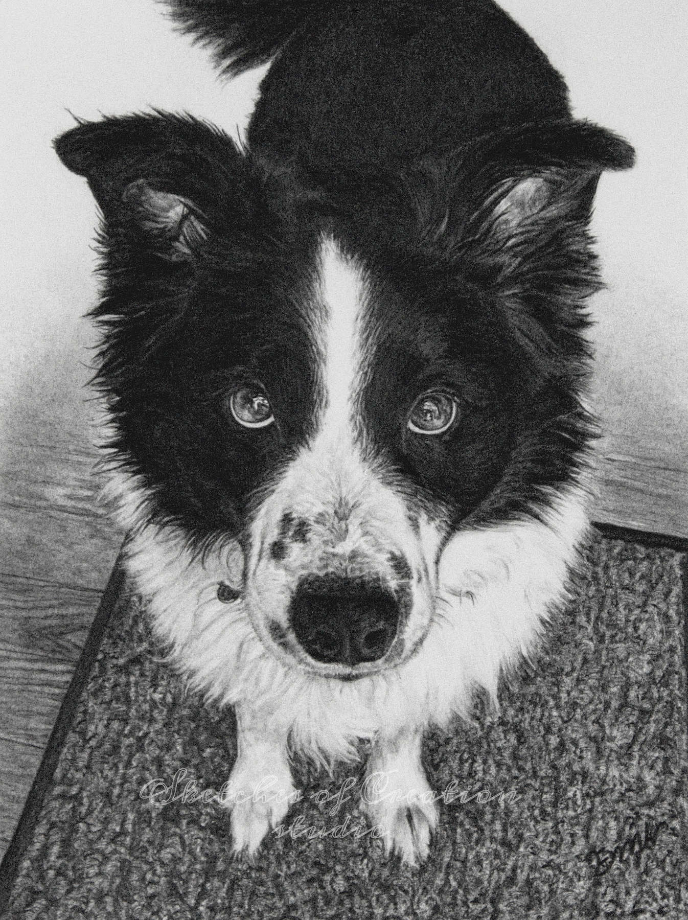'Joey' a drawing of a white and black Border-collie-Australian Shepherd looking up at his owner. 6x8 inches. Completed June 2020