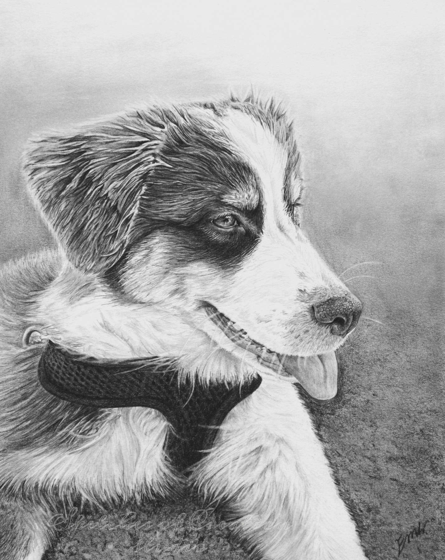 'Liberty' a drawing of an Australian Shepherd puppy. 8x10 inches. Completed July 2019