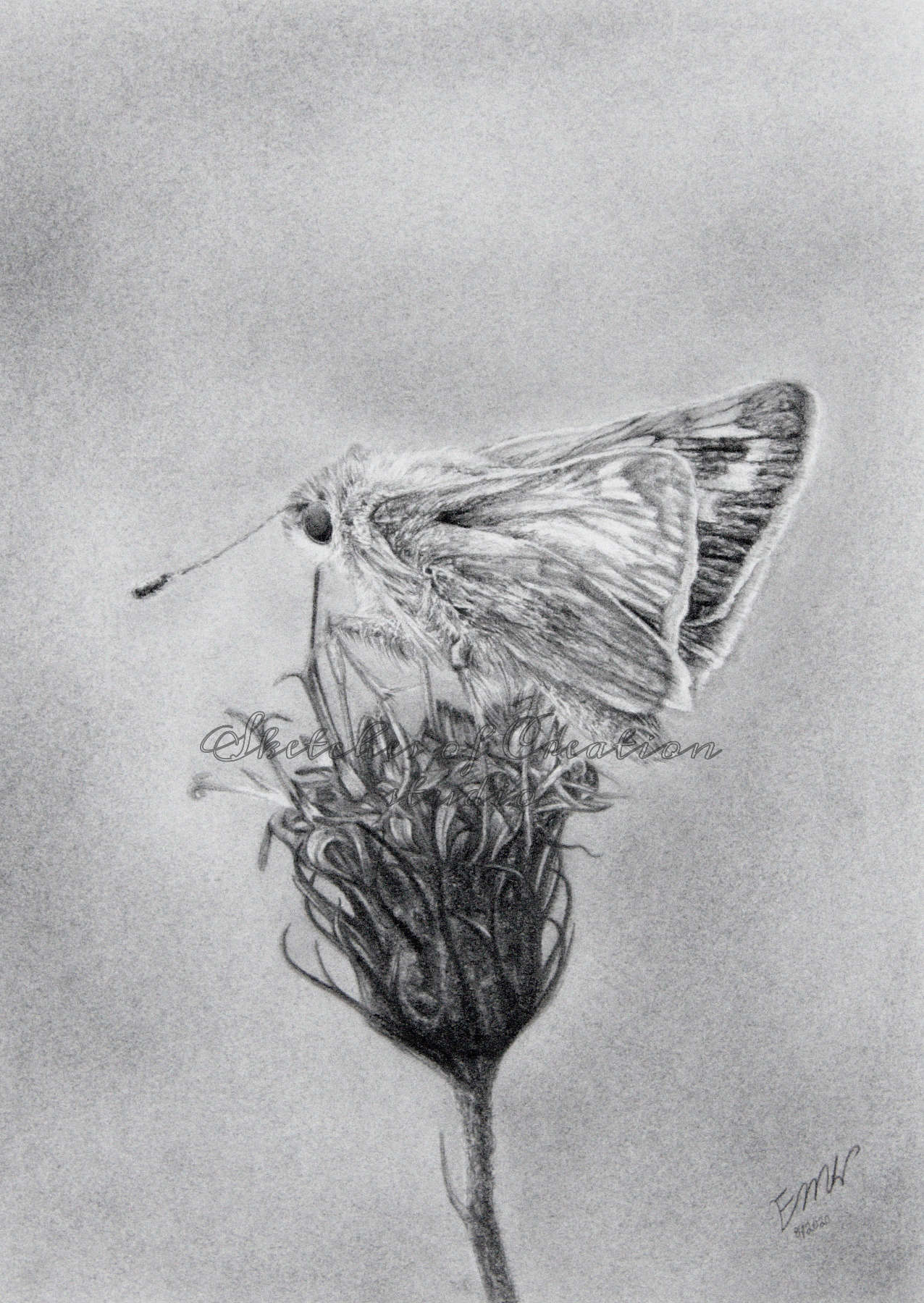 'Skipper' a drawing of a skipper butterfly on New York Ironweed. 5x7 inches. Completed August 2020