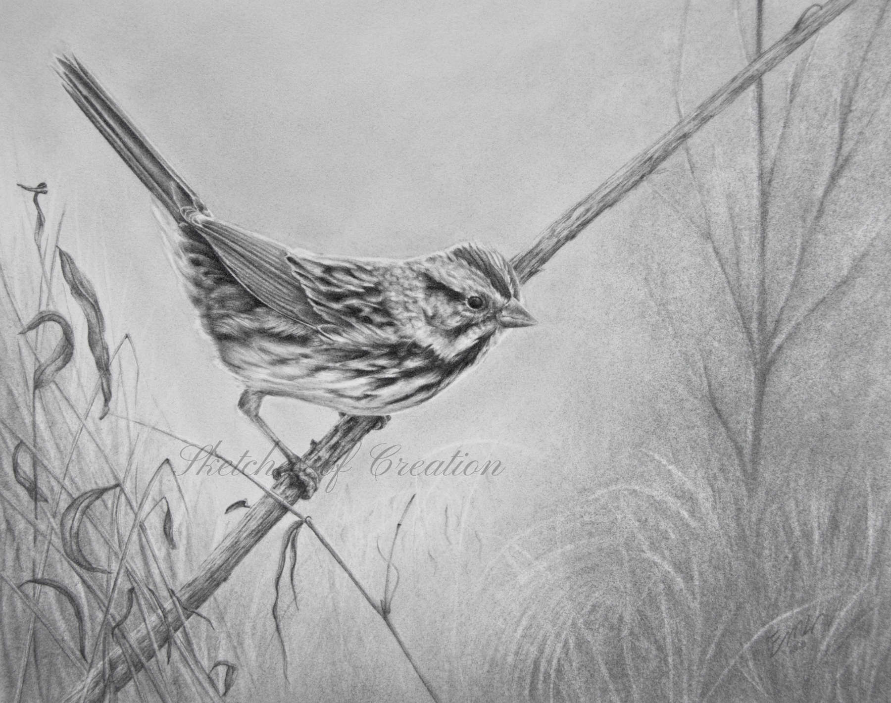 'Song Sparrow' a drawing of a Song Sparrow on a dried, tilted over wingstem plant. 8x10 inches. Completed October 2020