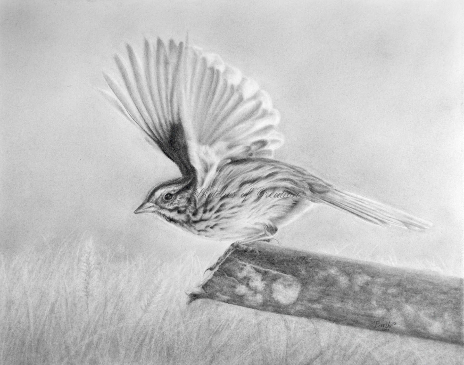 'Takeoff' a drawing of a Song Sparrow. approximately 8x10 inches plus deckled edge. Completed May 2021