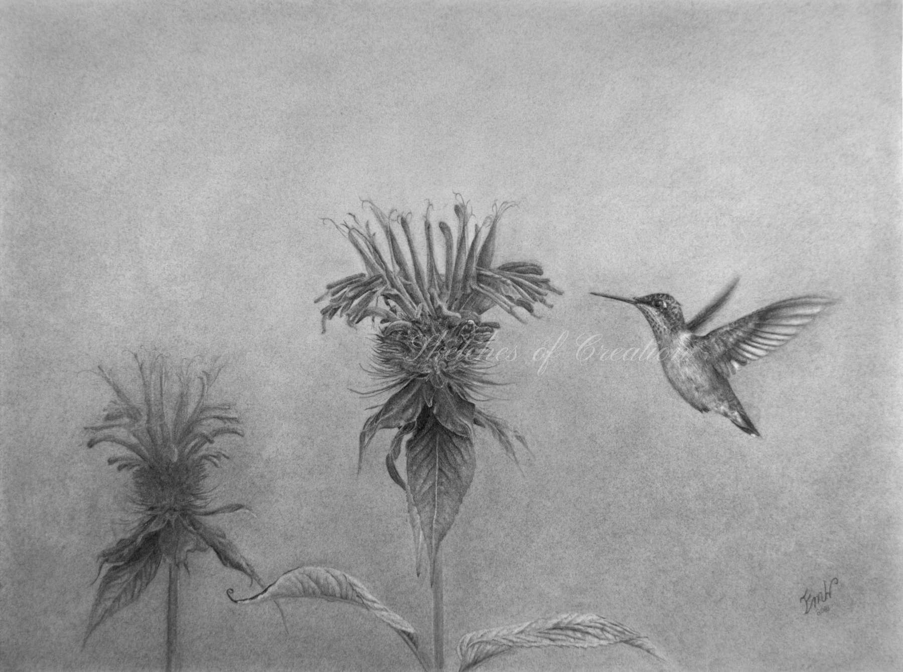 'Hummingbird with Beebalm' a drawing of a hummingbird flying next to a beebalm flower. Completed August 2021